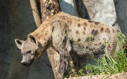 Εικόνα κινηματογραφήσεων σε πρώτο πλάνο μιας επισημασμένης στάσης Hyena Στοκ εικόνες με δικαίωμα ελεύθερης χρήσης
