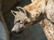 Εικόνα κινηματογραφήσεων σε πρώτο πλάνο μιας επισημασμένης στάσης Hyena Στοκ εικόνα με δικαίωμα ελεύθερης χρήσης