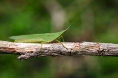 Εικόνα μεσογειακό ράπισμα-αντιμέτωπο Grasshopper Στοκ εικόνα με δικαίωμα ελεύθερης χρήσης