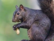 Εικόνα με έναν αστείο μαύρο σκίουρο που τρώει τα καρύδια Στοκ φωτογραφία με δικαίωμα ελεύθερης χρήσης