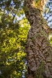 Εικόνα με τη λεπτομέρεια ενός δέντρου φελλού στοκ εικόνες