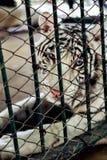 Εικόνα μιας άσπρης τίγρης στο κλουβί άγρια περιοχές ζώων Στοκ εικόνα με δικαίωμα ελεύθερης χρήσης
