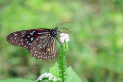 Εικόνα μιας πεταλούδας ο χλωμός - μπλε τίγρη στο υπόβαθρο φύσης Στοκ Φωτογραφίες
