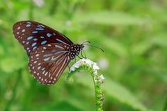 Εικόνα μιας πεταλούδας ο χλωμός - μπλε τίγρη στο υπόβαθρο φύσης Στοκ Εικόνες