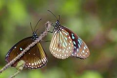 Εικόνα μιας πεταλούδας ο χλωμός - μπλε τίγρη στο υπόβαθρο φύσης Στοκ φωτογραφία με δικαίωμα ελεύθερης χρήσης