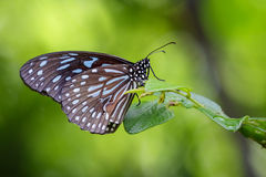 Εικόνα μιας πεταλούδας ο χλωμός - μπλε τίγρη στο υπόβαθρο φύσης Στοκ εικόνες με δικαίωμα ελεύθερης χρήσης