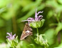 Εικόνα μιας όμορφης συνεδρίασης πεταλούδων στα λουλούδια Στοκ Εικόνες