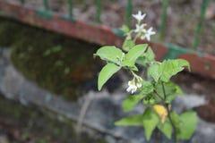 Εικόνα πορτρέτου των άσπρων εγκαταστάσεων λουλουδιών Στοκ Εικόνες