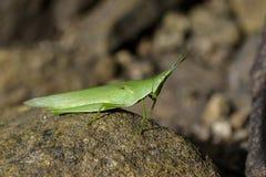 Εικόνα ράπισμα-αντιμέτωπο ή φανταχτερό grasshopper στους βράχους Στοκ Εικόνες