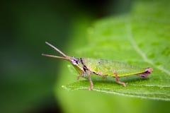 Εικόνα ράπισμα-αντιμέτωπο ή φανταχτερό grasshopper στο υπόβαθρο φύσης Στοκ Φωτογραφία