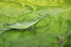 Εικόνα ράπισμα-αντιμέτωπο ή φανταχτερό grasshopper στο υπόβαθρο φύσης Στοκ εικόνες με δικαίωμα ελεύθερης χρήσης