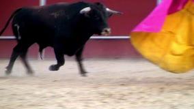 Εικόνα ταύρων πάλης από την Ισπανία. μαύρος ταύρος απόθεμα βίντεο
