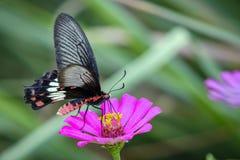 Εικόνα της κοινής ροδαλής πεταλούδας στο υπόβαθρο φύσης έντομο Στοκ Εικόνες