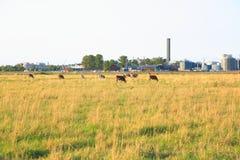 Εικόνα της Νίκαιας ενός κοπαδιού των αγελάδων στον τομέα Στοκ Εικόνες