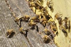 Εικόνα της Νίκαιας των μελισσών που φέρνει τη γύρη στην κυψέλη στοκ φωτογραφία