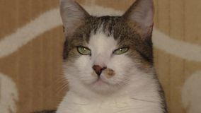 Εικόνα της χνουδωτής γκρίζας γάτας που εξετάζει τη κάμερα απόθεμα βίντεο