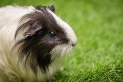 Εικόνα του ινδικού χοιριδίου στο χορτοτάπητα pets Ζώα στοκ εικόνες