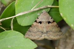 Εικόνα του καφετιού butterfly& x28 Moth& x29  στα πράσινα φύλλα Στοκ φωτογραφίες με δικαίωμα ελεύθερης χρήσης