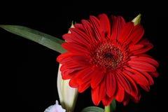 Εικόνα του κόκκινου λουλουδιού gerbera μαργαριτών στο μαύρο υπόβαθρο φω'τα στοκ εικόνα