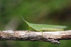 Εικόνα του μεσογειακού ράπισμα-αντιμέτωπου Grasshopper ungarica Acrida Στοκ εικόνα με δικαίωμα ελεύθερης χρήσης