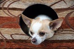 Εικόνα του μικρού chihuahua στο σκυλόσπιτο Στοκ Φωτογραφία