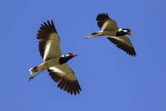 Εικόνα του πουλιού που πετά στον ουρανό άγρια περιοχές ζώων Στοκ Φωτογραφία