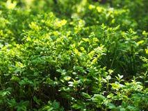 Εικόνα του πράσινου Μπους στο θερινό κήπο στοκ φωτογραφία με δικαίωμα ελεύθερης χρήσης
