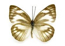 Εικόνα του ριγωτού άλμπατρος πεταλούδων olferna libythea Appias Στοκ φωτογραφία με δικαίωμα ελεύθερης χρήσης