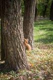 Εικόνα του σκιούρου που αναρριχείται στο δέντρο Στοκ εικόνα με δικαίωμα ελεύθερης χρήσης