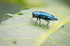 Εικόνα του σμαραγδένιου Borer τέφρας κανθάρου σε ένα πράσινο φύλλο έντομο στοκ εικόνα με δικαίωμα ελεύθερης χρήσης