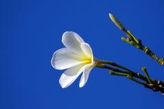 Εικόνα του τροπικού plumeria frangipani λουλουδιών Στοκ Εικόνες