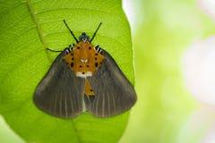 Εικόνα του butterfly& x28 male& x29  Orbicularis Peridrome στα πράσινα φύλλα Στοκ Εικόνα