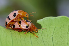 Εικόνα των κανθάρων ή Ladybugs λαμπριτσών στα πράσινα φύλλα έντομο Στοκ Φωτογραφίες