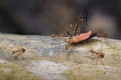 Εικόνα των κόκκινων μυρμηγκιών που τρώνε το κόκκινο ζωύφιο βαμβακιού στο υπόβαθρο φύσης Στοκ Εικόνα