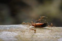 Εικόνα των κόκκινων μυρμηγκιών που τρώνε το κόκκινο ζωύφιο βαμβακιού στο υπόβαθρο φύσης Στοκ εικόνες με δικαίωμα ελεύθερης χρήσης