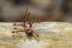 Εικόνα των κόκκινων μυρμηγκιών που τρώνε το κόκκινο ζωύφιο βαμβακιού στο υπόβαθρο φύσης E Στοκ εικόνα με δικαίωμα ελεύθερης χρήσης