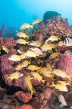 Εικόνα των ψαριών σε έναν σκόπελο στη νότια Φλώριδα Στοκ Εικόνες