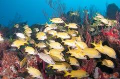 Εικόνα των ψαριών σε έναν σκόπελο στη νότια Φλώριδα Στοκ Φωτογραφίες