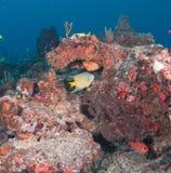 Εικόνα των ψαριών σε έναν σκόπελο στη νότια Φλώριδα Στοκ εικόνες με δικαίωμα ελεύθερης χρήσης