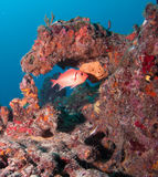 Εικόνα των ψαριών σε έναν σκόπελο στη νότια Φλώριδα Στοκ εικόνα με δικαίωμα ελεύθερης χρήσης