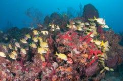 Εικόνα των ψαριών σε έναν σκόπελο στη νότια Φλώριδα Στοκ Εικόνα