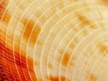 Εικόνα υποβάθρου λεπτομέρειας σύστασης κινηματογραφήσεων σε πρώτο πλάνο κοχυλιών θάλασσας στοκ εικόνα με δικαίωμα ελεύθερης χρήσης