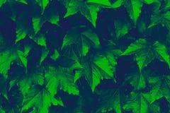 Εικόνα υποβάθρου στενού επάνω των φύλλων κισσών κατά τη διάρκεια της εποχής πτώσης, εικόνα Duotone στοκ εικόνα