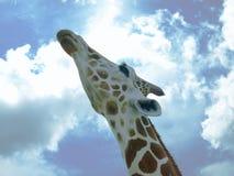 Εικόνα φωτογραφιών Giraffe που φαίνεται επάνω και που τεντώνει το λαιμό του κοντά Στοκ φωτογραφία με δικαίωμα ελεύθερης χρήσης
