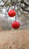 Εικόνα δύο μήλα που ξεχνιούνται σε μια συγκομιδή, οπωρώνας της Apple το Νοέμβριο Στοκ Εικόνα
