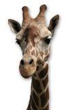 Giraffe στο άσπρο υπόβαθρο Στοκ Εικόνα