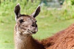 εικόνα llama που εξετάζει τη κάμερα Στοκ Φωτογραφία