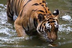 Εικόνες μιας νέας τίγρης Sumatran Στοκ Εικόνα