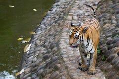 Εικόνες μιας νέας τίγρης Sumatran Στοκ Φωτογραφία