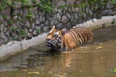 Εικόνες μιας νέας τίγρης Sumatran Στοκ Εικόνες